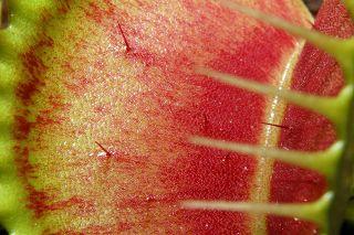 VAMR - Velký Atlas Masožravých Rostlin